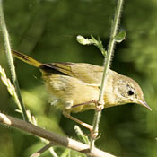 1common_yellowthroat_female_shantz.jpg