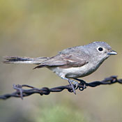 1gray_vireo_burns.jpg