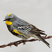 1yellow_rumped_warbler_breeding_shantz.jpg