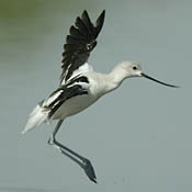 american_avocet_2_burns.jpg