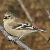 american_goldfinch_female_shantz.jpg