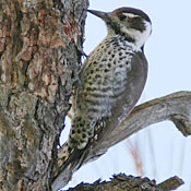 arizona_woodpecker_female_shantz.jpg