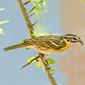 black_headed_grosbeak_female_burns.jpg