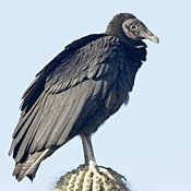 black_vulture_shantz.jpg