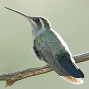 blue_throated_hummingbird_female_shantz.jpg