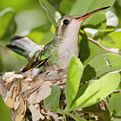 broad_billed_hummingbird_female_ditch.jpg