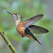 broad_tailed_hummingbird_female_burns.jpg