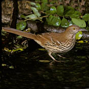 brown_thrasher.jpg