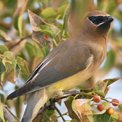 cedar_waxwing_female_ditch.jpg