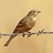 chestnut_collared_longspur_2_burns.jpg