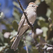chipping_sparrow_niehuis.jpg