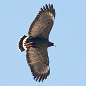 common_black_hawk_flight_shantz.jpg