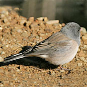 dark_eyed_pinksided_junco_Shantz.jpg