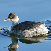 eared_grebe_winter_shantz.jpg