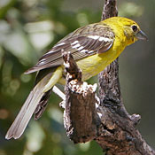 flame_colored_tanager_female_munson.jpg