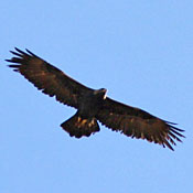 golden_eagle_flight_shantz.jpg