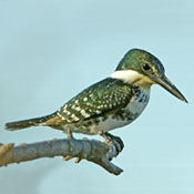 green_kingfisher_female_burns.jpg