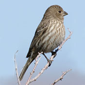 house_finch_female_shantz.jpg