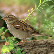 house_sparrow_female_ditch.jpg
