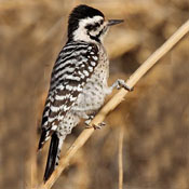ladder_backed_woodpecker_female_shantz.jpg