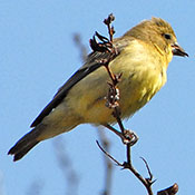 lesser_goldfinch_female_kazilek.jpg