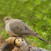mourning_dove_ditch.jpg