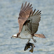 osprey_flight_fish_shantz.jpg