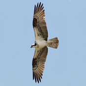 osprey_flight_shantz.jpg