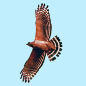 red_shouldered_hawk_flight_pearson.jpg
