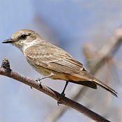 vermilion_flycatcher_female_shantz.jpg
