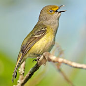 white_eyed_vireo_burns.jpg
