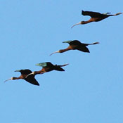 white_faced_ibis_flight_shantz.jpg