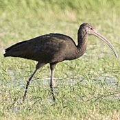 white_faced_ibis_winter_niehuis.jpg