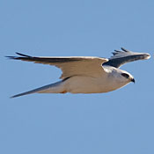 white_tailed_kite_flight_ditch.jpg