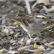 whitethroated_sparrow_niehuis.jpg