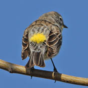 yellow-rumped_warbler_male_back.jpg