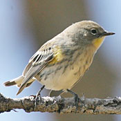 yellow_rumped_warbler_female_shantz.jpg