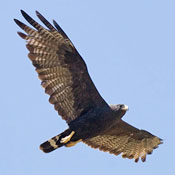 zone_tailed_hawk_flight_2_shantz.jpg