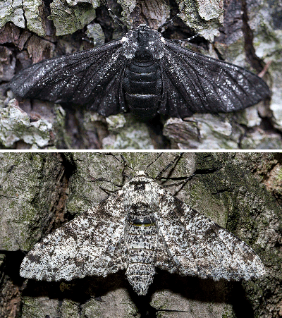 Peppered Moths: Dr. Kettlewell