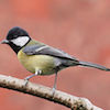 a great tit seen from the side. The bird has a yellow belly and a black head.
