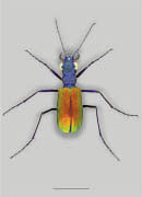 Bicolored Mound dwelling Tiger Beetle image