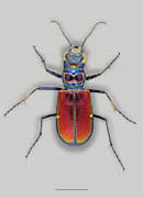Beautiful Tiger Beetle image