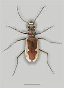 Cream-edged Tiger Beetle image