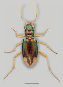 Carolina Metallic Tiger Beetle image
