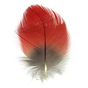 Scarlet Macaw feather image