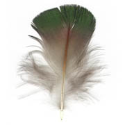 Lady Amshert's Pheasant feather image
