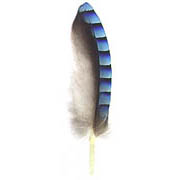Eurasian Jay feather image