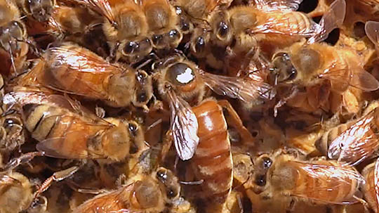 Honey bee queen with workers inside the hive.