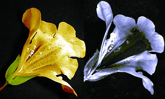 Two flowers, on the left is the visible view and the right is ultraviolet light.