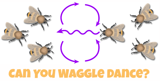Illustraton showing a honey bee with the diagram showing the path for the waggle dance. Other worker bees are watching.